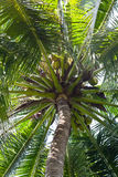 Kokosnuss auf Baum Lizenzfreies Stockfoto
