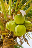 Kokosnuss auf Baum Lizenzfreie Stockfotos