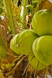 Kokosnuss auf Baum Stockfotografie