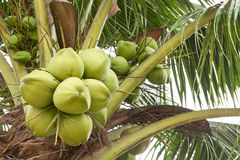 Kokosnuss auf Baum lizenzfreie stockfotografie