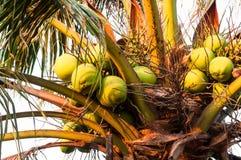 Kokosnuss auf dem Baum Lizenzfreie Stockfotos