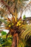 Kokosnuss auf dem Baum Stockbild