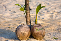 Kokosnuss auf dem Strand Stockfotos