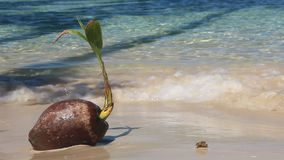 Kokosnuss auf dem Strand stock video