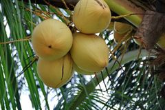 Kokosnuss auf einem Baum lizenzfreies stockbild