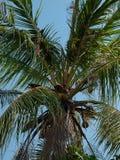 Kokosnuss auf Kokosnussbaum Lizenzfreies Stockfoto
