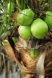 Kokosnuss auf Palme Lizenzfreies Stockfoto