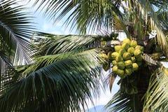 Kokosnuss auf Plantage Lizenzfreies Stockbild