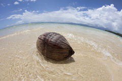 Kokosnuss auf tropischem Strand, Fidschi Stockfotografie
