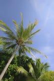 Kokosnuss-Bäume Stockfotografie