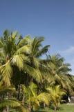 Kokosnuss-Bäume mit blauer Himmel-Hintergrund stockfoto