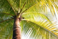 Kokosnuss-Bäume am Sommer Stockbild