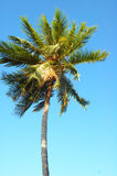 Kokosnuss-Baum Lizenzfreie Stockfotografie