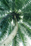 Kokosnuss-Baum. Lizenzfreies Stockfoto
