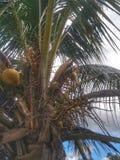 Kokosnuss-Baum mit einem Blatt und einem bew?lkten Hintergrund stockfotografie