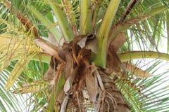 Kokosnuss-Baum mit seinen Niederlassungen Stockfoto