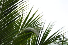 Kokosnuss-Blatt Lizenzfreie Stockbilder
