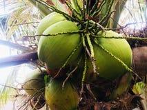 Kokosnuss, die auf einen Tag wartet, um in ein großes Kind am nächsten Tag zu wachsen, um bereit zu sein, ein neuer Baum zu sein lizenzfreies stockfoto