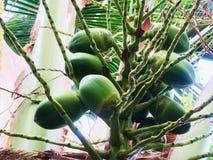 Kokosnuss, die auf einen Tag wartet, um in ein großes Kind am nächsten Tag zu wachsen, um bereit zu sein, ein neuer Baum zu sein stockfoto
