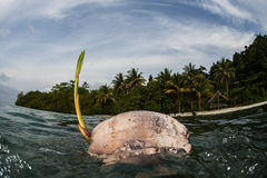 Kokosnuss, die nahe Tropeninsel schwimmt Stockfoto