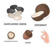 Kokosnuss, Eichel, Sonnenblumensamen, manchueian Walnuss Verschiedene Arten von gesetzten Sammlungsikonen der Nüsse im Karikatura vektor abbildung