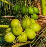 Kokosnuss in einem Garten Stockfotos