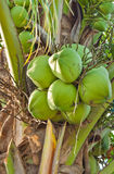 Kokosnuss in einem Garten Stockbild