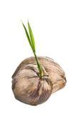 Kokosnuss getrennt Stockfoto
