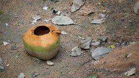 Kokosnuss im Garten lizenzfreie stockbilder