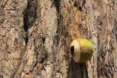 Kokosnuss ist natürliches Haus von Eichhörnchen und von Vögeln Stockfoto