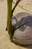 Kokosnuss keimt oben Stockfoto