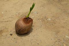 Kokosnuss mit neuem jungem Blatt lizenzfreies stockbild