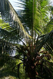 Kokosnuss-Palme nahe rotem Frosch-Strand Stockfoto
