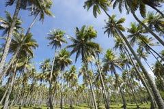 Kokosnuss-Palmen Grove, das im blauen Himmel steht Stockfotografie
