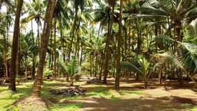 Kokosnuss-Palmen-Plantage stockbild