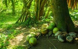Kokosnuss, Philippinen stockfotografie