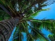 Kokosnuss plam Stockbilder