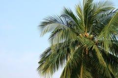 Kokosnuss plam Baum auf Himmel Stockfotografie