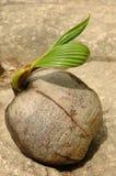 Kokosnuss-Startwert für Zufallsgenerator keimt neue Lebensdauer Lizenzfreie Stockfotos