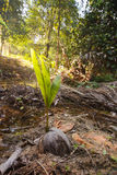 Kokosnuss-Startwert für Zufallsgenerator Stockbild
