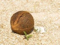 Kokosnuss, Tritonshornshell und grüner Sprössling auf Sand. Stockbild