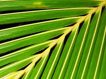 Kokosnuss verlässt Hintergrund Stockfoto