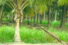 Kokosnussbäume stockfotografie