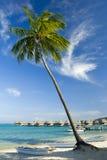 Kokosnussbäume auf moorea im sou Stockfotografie