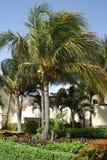 Kokosnussbäume, die in einem mexikanischen Garten wachsen Stockfotos