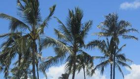 Kokosnussbäume Ewa-Strand Oahu Stockbild