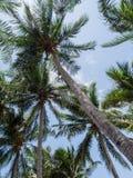 Kokosnussbäume mit hellem Sonnenlicht auf Hintergrund des blauen Himmels Stockbilder