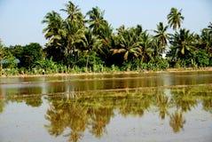 Kokosnussbäume und Paddyfeld Stockbild
