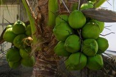 Kokosnussbündel auf der Palme lizenzfreie stockbilder