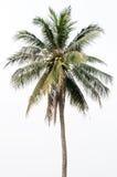 Kokosnussbaum Lizenzfreies Stockfoto